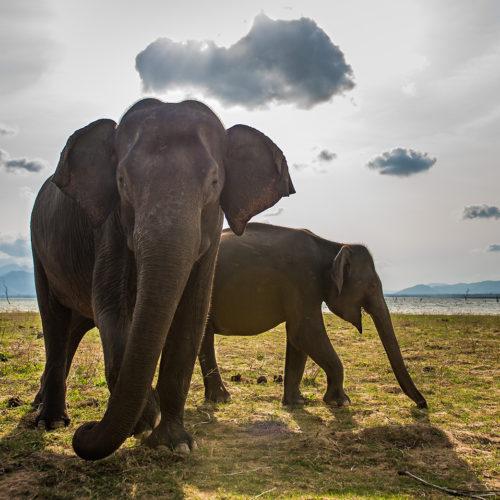 Yala Elephants